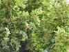 FloriDeTeiCodlea (12)