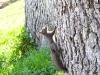 veverite codlea (6)